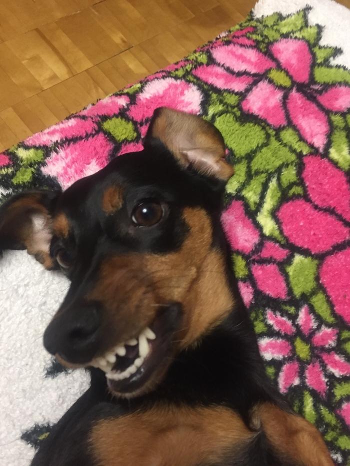 Собака-улыбака Собака, Такса, Улыбка, Длиннопост