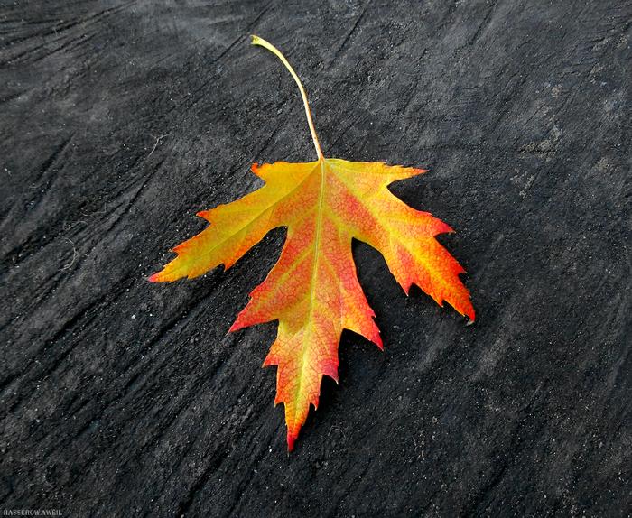 Яркий кусочек уходящего октября Фотография, Осень, Октябрь, Кленовый лист