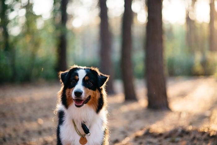 Фотосессия для аусси Аусси, Австралийская овчарка, Фотосессия, Длиннопост