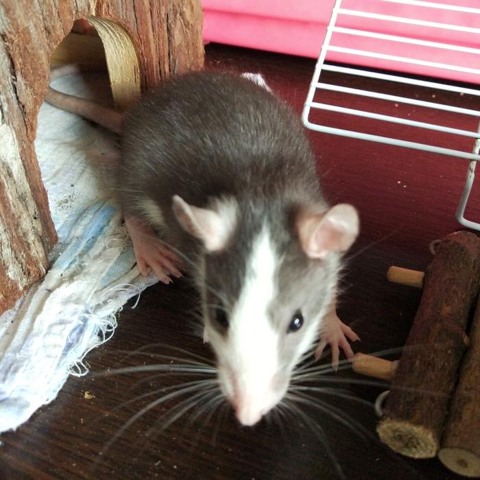 Как меняется цвет у крысиного хаски Декоративные крысы, Хаски, Крыса, Владивосток, Длиннопост