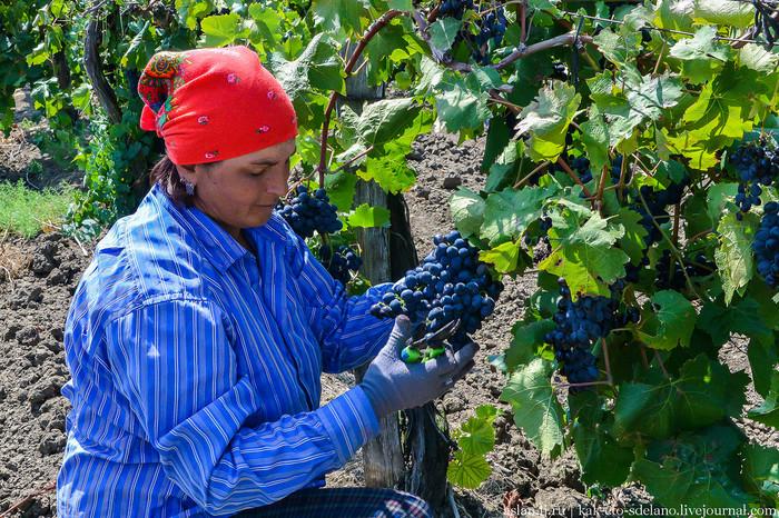 Как делают вино. Часть 2 - приемка винограда и прессование Вино, Виноград, Длиннопост, Сельское хозяйство, Виноградник