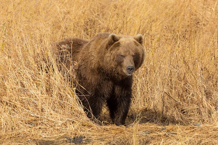 Хмурый мишка Камчатка, Медведь, Путешествия, Россия, Осень, Дикая природа