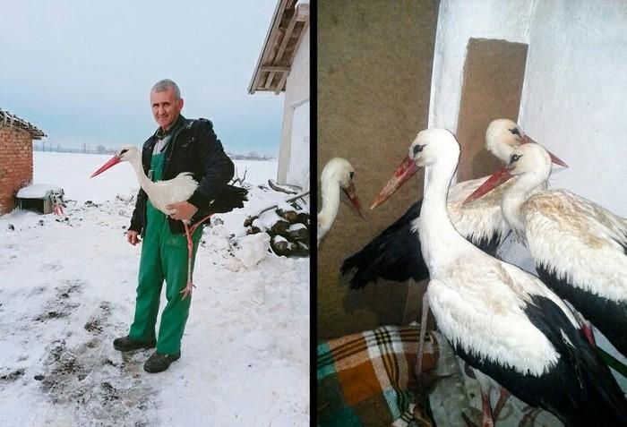 Весной вБолгарию прилетели аисты, акогда ударил мороз, они начали гибнуть. Сафит Халид приютил птиц усебя дома.