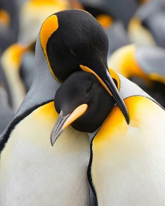 Влюблённая пара пингвинов.
