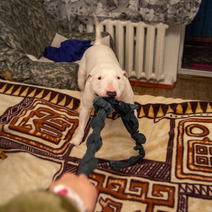 """Лайфхак для тех, у кого """"крокодил все игрушки заглотил"""" Бультерьер, Миниатюрный бультерьер, Собака, Лайфхак, Игрушка для собак"""