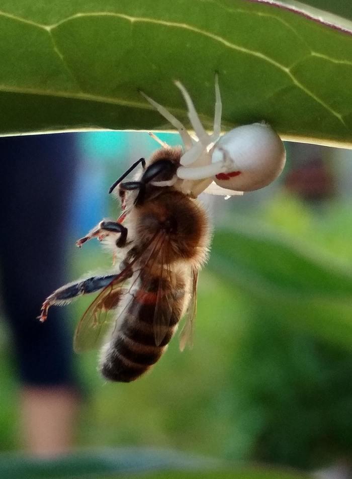 Паук Паук, Пчелы, Фотография, Природа, Хищник, Цветочный паук