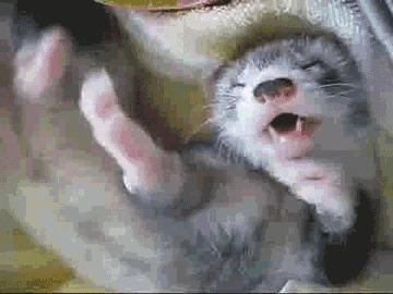 Куньи Соболи, Куница, Хорек, Животные, Медоед, Горностай, Гифка, Видео, Длиннопост, Кот