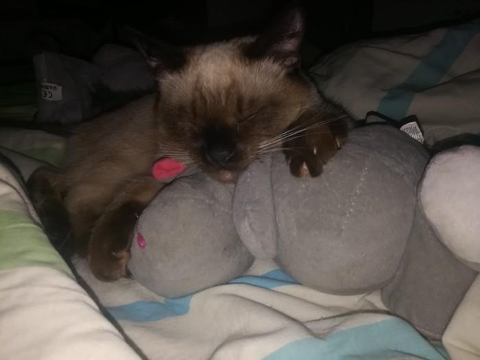 С любимыми не расставайтесь ...Мой Марсель любит бегемота, и ничего тут не попишешь... Я и не знала, что у котов есть любимчики