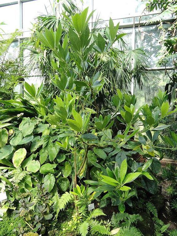 Бадьян - или анис звездчатый - как вырастить в домашних условиях Бадьян, Анис, Комнатные растения, Домашние цветы, Длиннопост