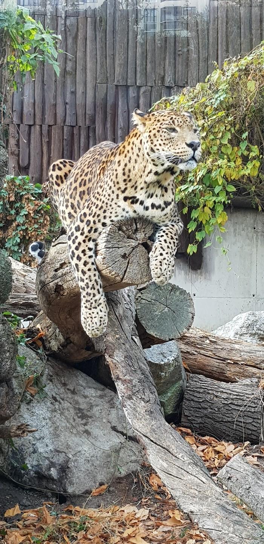 Я вас всех презираю! Зоопарк, Братислава, Словакия, Ягуар