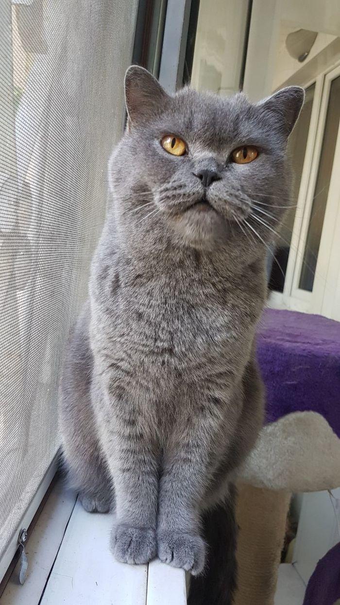 И так каждый раз, когда я ем что-то вкусненькое Котомафия, Кот, Британский кот, Длиннопост