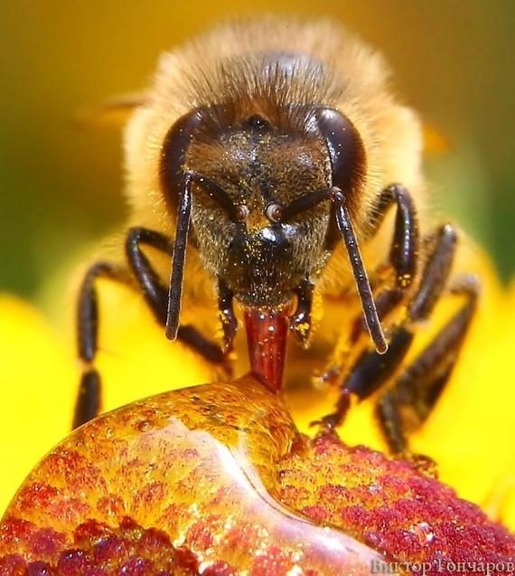 Организация пчелиного улья. Сбор, танцы,  управление, экспансия, Пчелы, Насекомые, Длиннопост, Фотография, Трипофобия