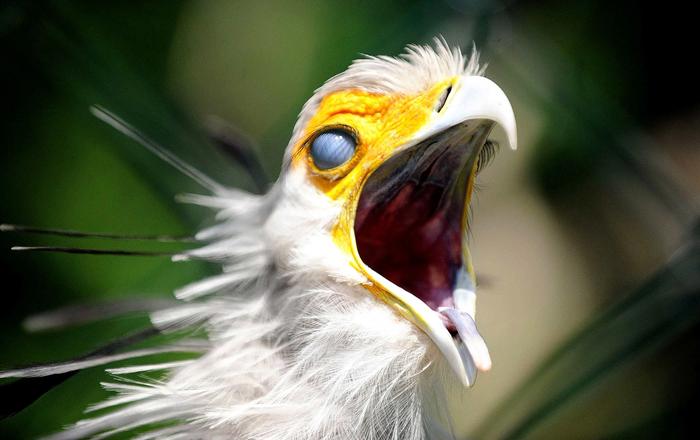 Птица секретарь: Одинокий рыцарь в змеином гнезде Птица секретарь, Птицы, Орнитология, Зоология, Животные, Дикие животные, Юмор, Книга животных, Длиннопост