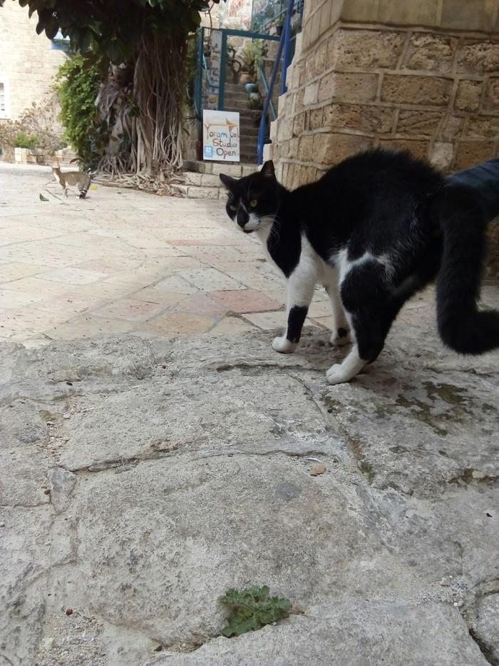Огромные израильские коты Кот, Израиль, Мяу, Длиннопост