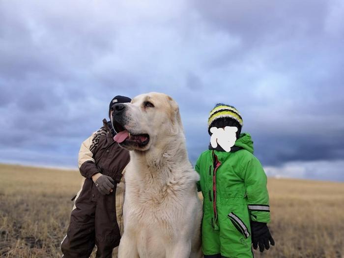 В Приуральске алабай покусал подростка. Собака, Магнитогорск, Алабай, Дети, Укус, Длиннопост, Негатив, Жесть