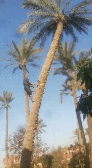 Рубим пальму