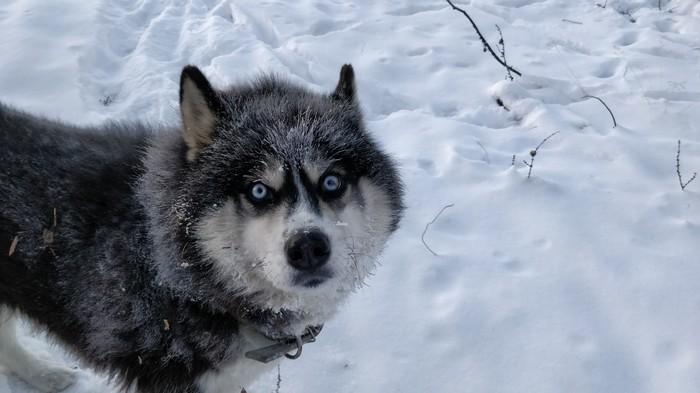 Хорош пёс! Собака, Шерстяной, Волк, Хаски, Животные