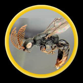 Мал и вонюч клоп, да золотник Домашнее насекомое, Насекомые, Дом, Быт, Живность, Длиннопост