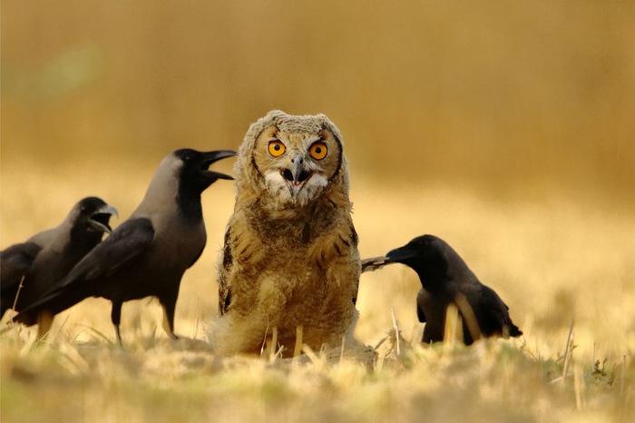 Попал в плохую компанию Филин, Ворона, Птицы, Фотография