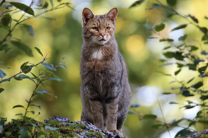 Красавица Животные, Лесной кот, Кот