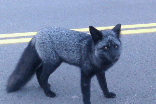 Чернобурая лисичка