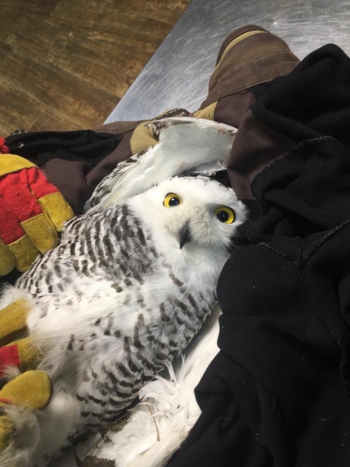 История спасения полярной совы Сова, Полярная сова, Спасение животных, Спасение птицы, Длиннопост