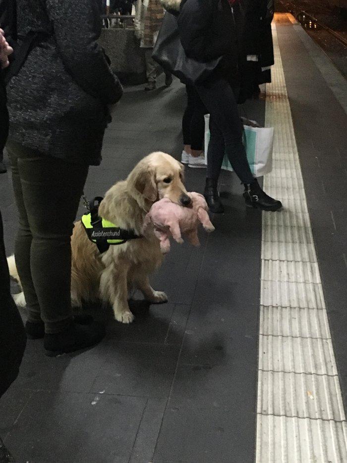 Служебная собака после трудового дня с любимой плюшевой свинкой