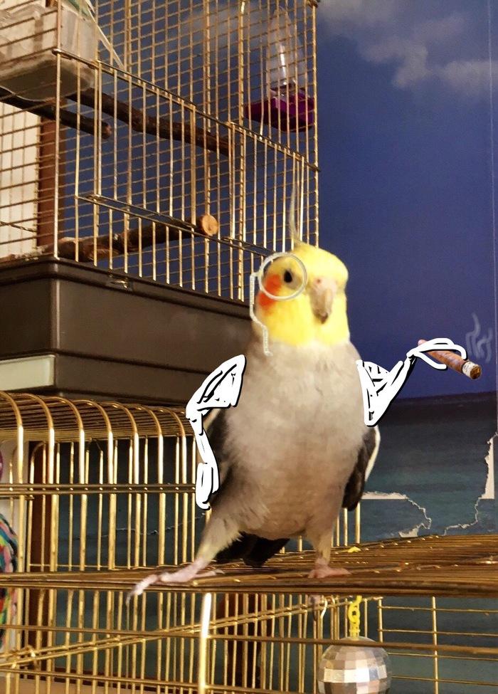 Режим «изящная лапка» активирован Птицы, Корелла, Попугай, Смешное, Юмор, Длиннопост