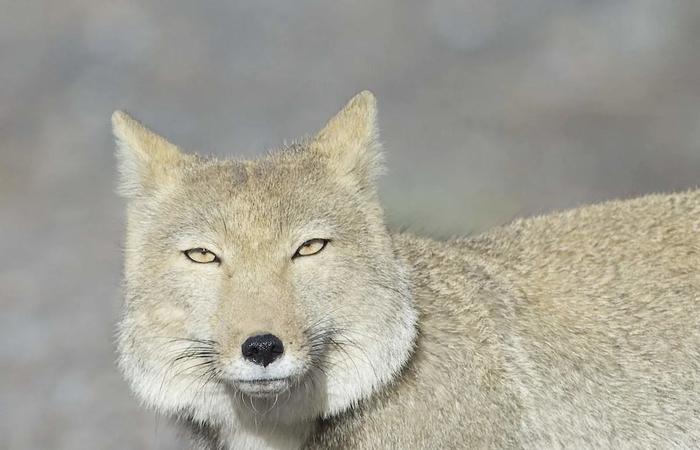 Тибетская лиса: Символ дзена и вселенского пофигизма Тибетская лисица, Лиса, Животные, Дикие животные, Юмор, Природа, Зоология, Книга животных, Длиннопост
