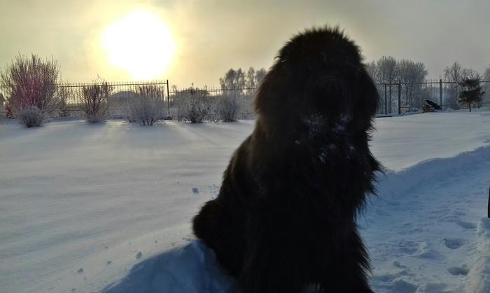Ньюфа зимой. Ньюфаундленд, Собака, Длиннопост