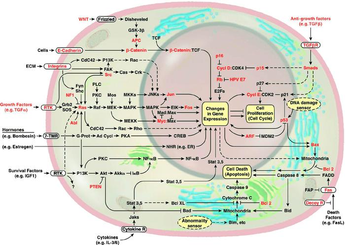 Как происходят биологические реакций в клетке Живая клетка, Биология