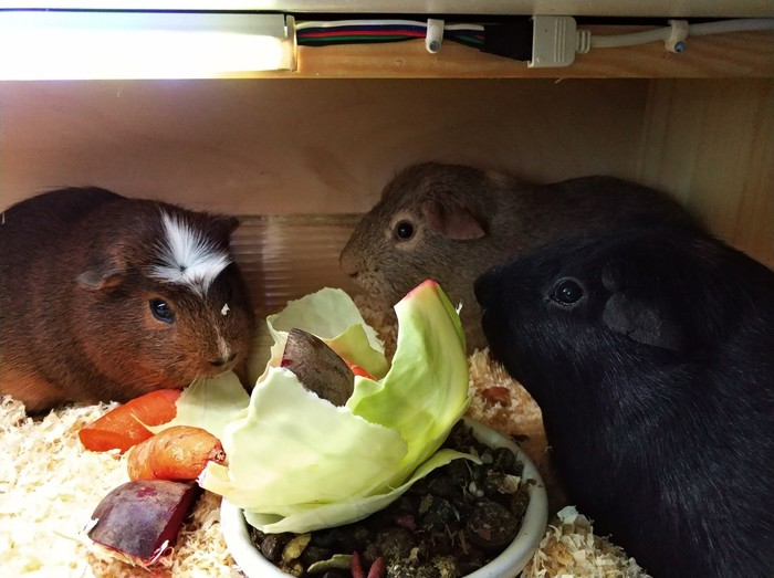 Выходные должны быть свинские!) эх Длиннопост, Морская свинка, Домашние животные, Кот