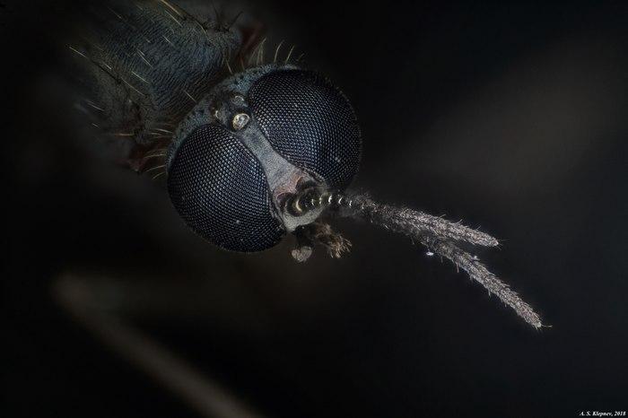 Комар Комары, Микроскоп, Фотография, Макросъемка