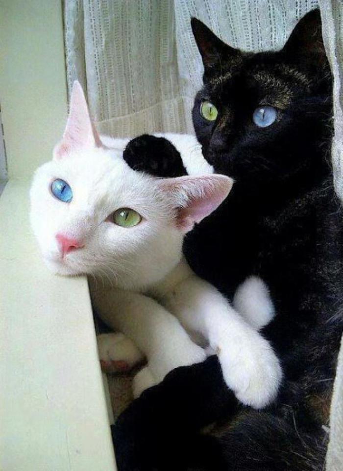 Два кота украли друг у друга глаза