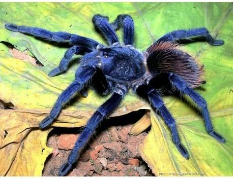 Новые пауки Пауки-Птицееды, Тарантул, Паук, Паукообразные, Длиннопост