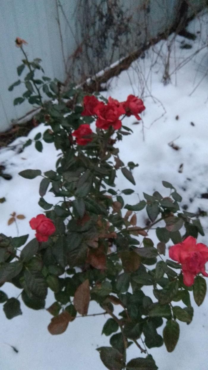 Декабрьская роза Роза, Зима, Ставропольский край
