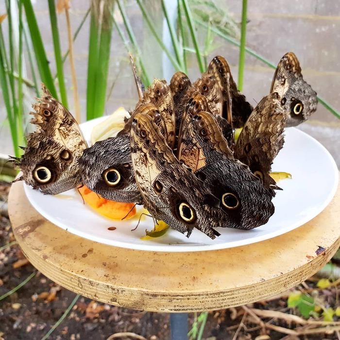 Бабочка, притворяющаяся совой Природа, Бабочка, Сова, Видео