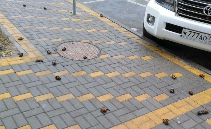 Десятки летучих мышей на тротуаре в центре Ростова Ростов-На-Дону, Летучая мышь, Видео, Длиннопост