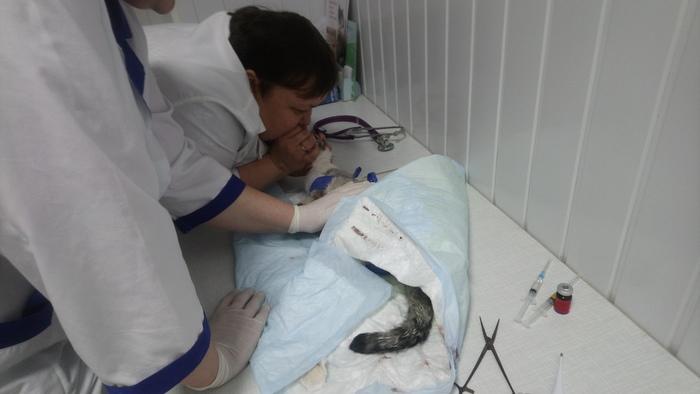 Нашел дохлую (нет) кошку 4 Сушка, Кот, Борьба со смертью, Надежда на лучшее, Видео, Длиннопост, Ветеринар, Спасение животных