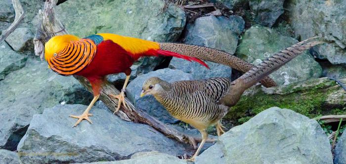Золотой фазан: Смазливые мальчики это стыдно! Золотой фазан, Птицы, Животные, Дикие животные, Юмор, Природа, Книга животных, Длиннопост, Зоология, Гифка
