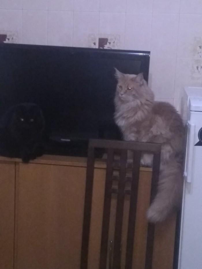 Найди кота Мейн-Кун, Кот, Длиннопост