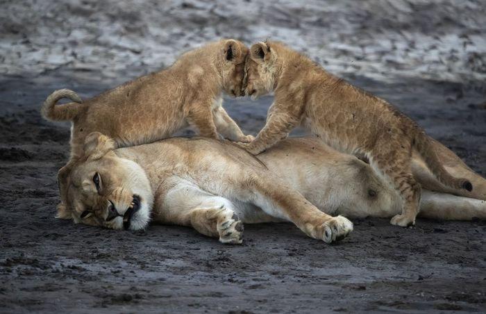 Счастье материнства Лев, Детеныш, Фотография, Милота