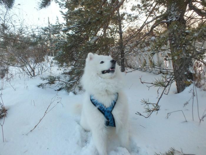 Мой собакен 2 Самоед, Собака, Деревня, Видео, Длиннопост