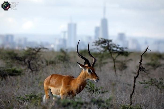 На окраине города Экология, Дикая природа, Экосфера, Кения, Заповедник, Найроби, Длиннопост, Животные