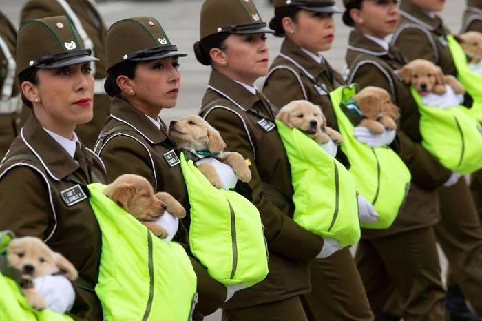 Чилийские карабинеры* Чили, Щенки, Служебные собаки, На вырост, Собака