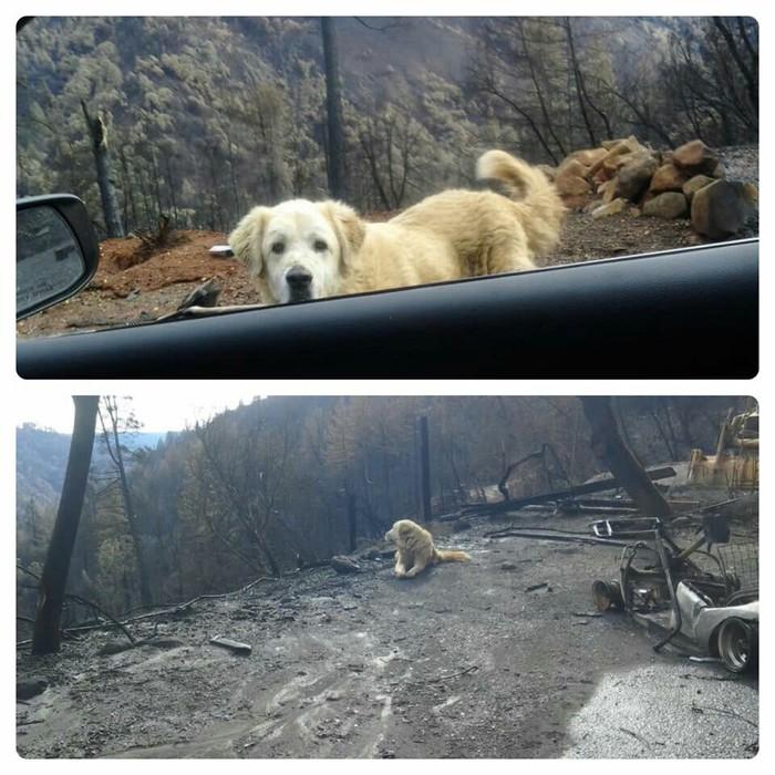 В Калифорнии пес почти месяц ждал хозяев у сгоревшего дома, у хозяев не было возможности вернуться на место пожара. А сегодня он приехал) Калифорния, Америка, США, Фотография, Собака, Собаки и люди, Животные, Пожар