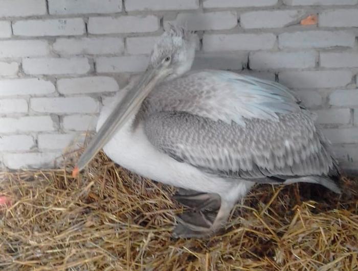 Кудрявый пеликан, занесенный в Красную книгу, приземлился у жительницы Костаная Пеликан, Краснокнижные животные, Костанай, Казахстан, Спасение животных