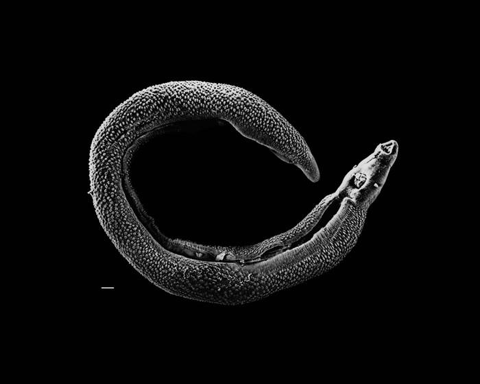 Гиперпаразиты - эволюционное совершенство. Медицина, Наука, Биология, Инфекционные болезни, Scientaevulgaris, Длиннопост