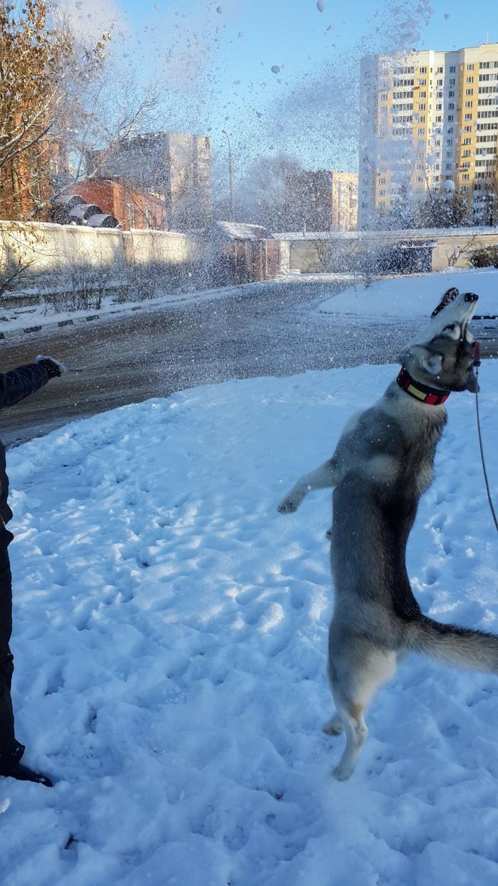 Для любителей породы хаски Собака, Хаски, Сибирский хаски, Домашние животные, Длиннопост
