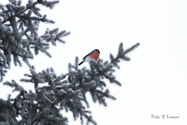 Птичка Снегири, Зима, Птицы, Фотография